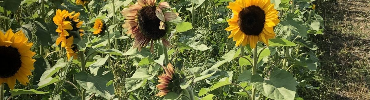 photo of sunflower patch at Pumpkinville